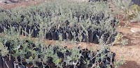 Some of the olive tree seedlings getting ready to be planted in March. Provided by Jeannie Amash.