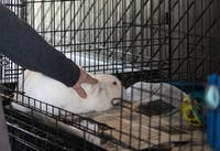 Suzanne Greif tends to one of the rabbits at her volunteer operated River Road Rabbit Rescue in Athens, Ohio.