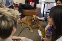 Dug, a therapy dog named after the movie Up, gets petted by students on the fourth floor of Alden Library on April 26. (FILE)