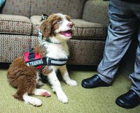 Penny is the newest service dog in training for Hudson Health and Psychological Center.