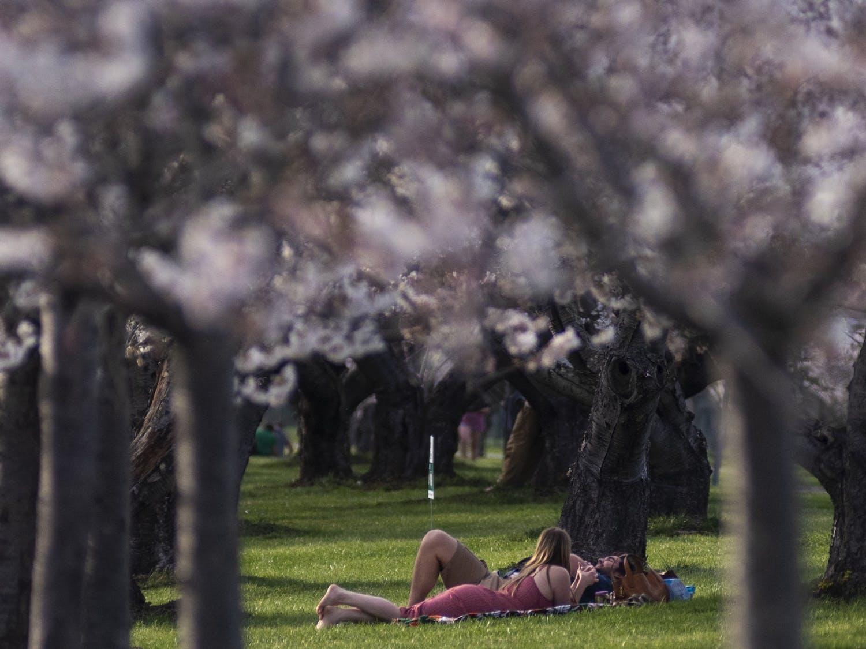 cherry_blossoms_10.jpg