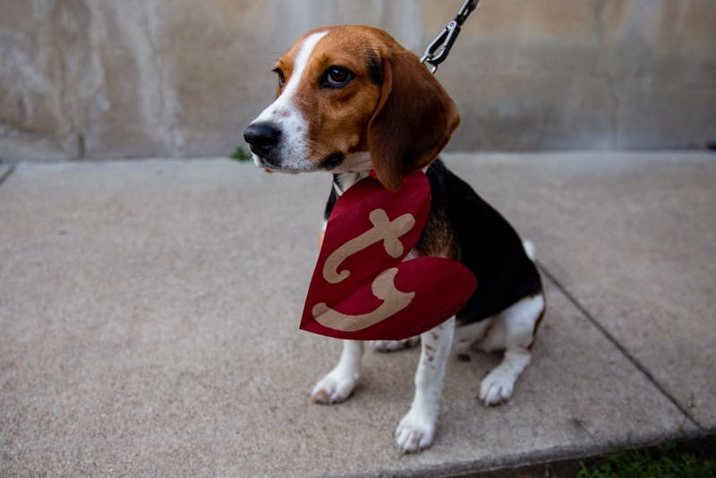 Photo illustration of Sami the beagle dressed as a Beanie Baby.