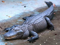 A couple found out the gender of their baby via alligator. (photo via Wikimedia Commons User PetarM)