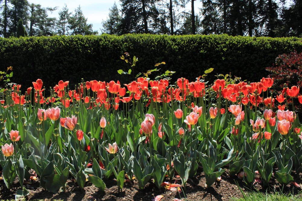 <h5>Red and pink tulips cover one of the many flower patches in Prospect Garden.&nbsp;</h5> <h6>Samantha Lopez-Rico / The Daily Princetonian</h6>