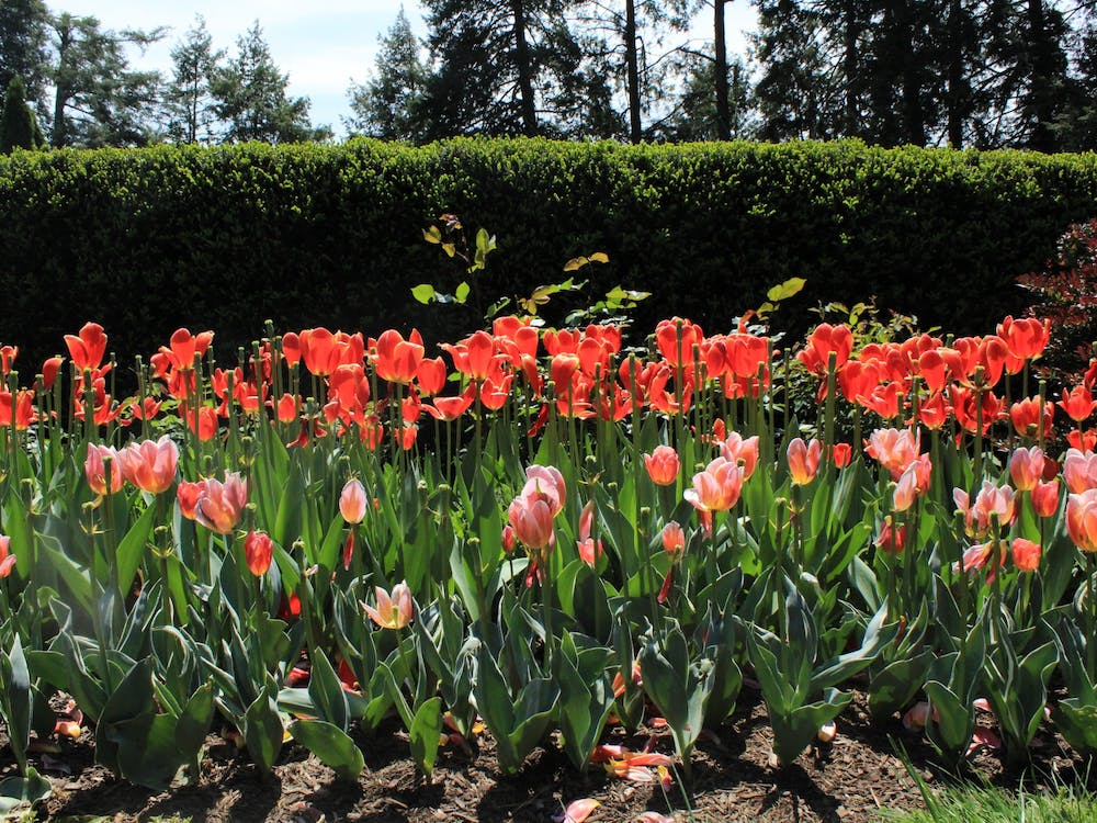 Red and pink tulips cover one of the many flower patches in Prospect Garden. Samantha Lopez-Rico / The Daily Princetonian