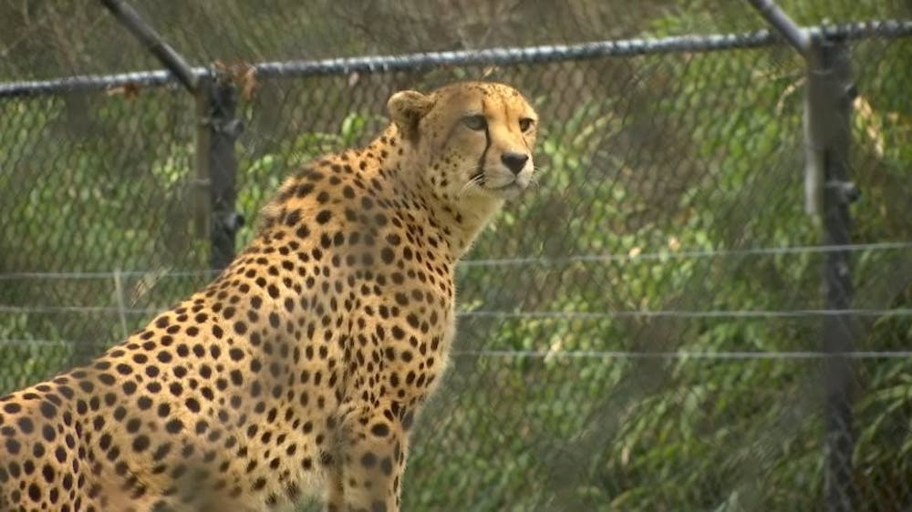 <h3>Leopard at Cape May County Zoo, NJ</h3> <h6>NBC News / Creative Commons</h6>