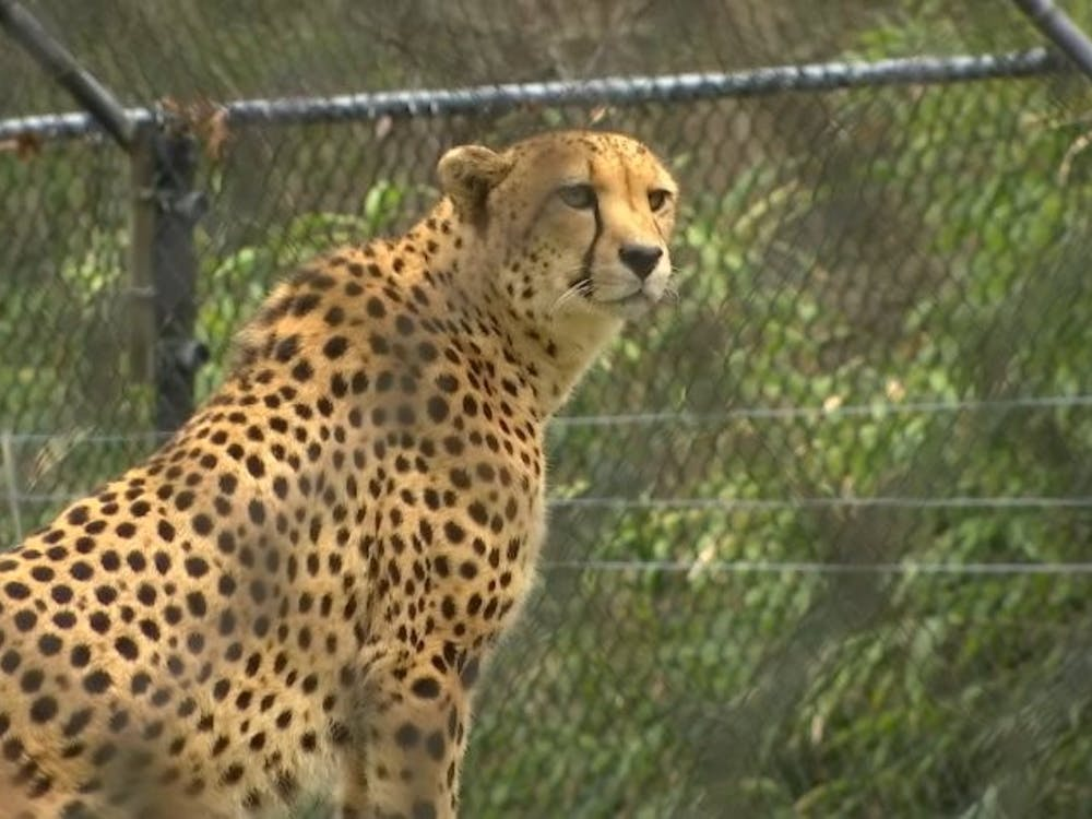 Leopard at Cape May County Zoo, NJ NBC News / Creative Commons