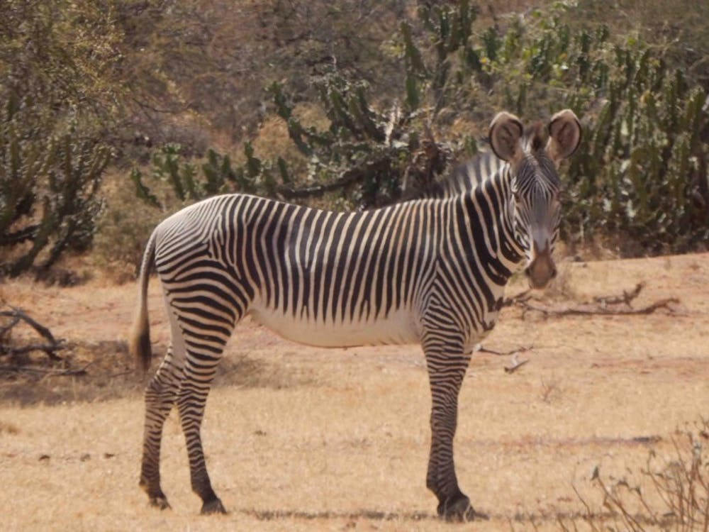McKenna Brownell '19's research at the Mpala research center focused on gene behavior in zebras. Photo courtesy of the Mpala website.