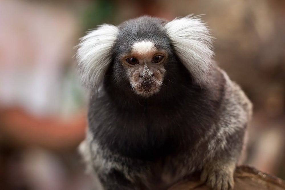"<h5>A marmoset.</h5> <h6>Courtesy of <a href=""https://www.flickr.com/photos/leszekleszczynski/6952548339/in/photostream/"" target=""_self"">Flickr</a></h6>"
