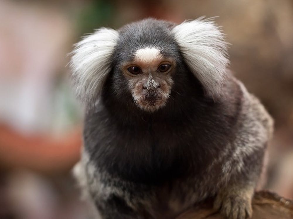 A marmoset. Courtesy of Flickr
