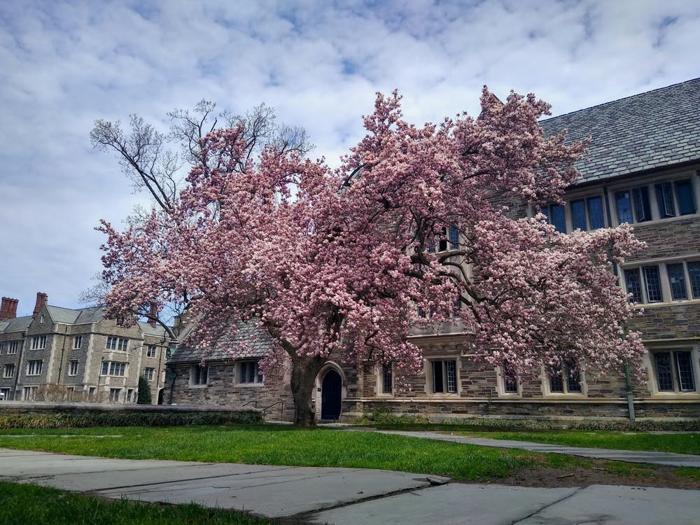 <h5>A tree in full bloom in the courtyard of Pyne Hall.</h5> <h6>Mark Dodici / The Daily Princetonian</h6>