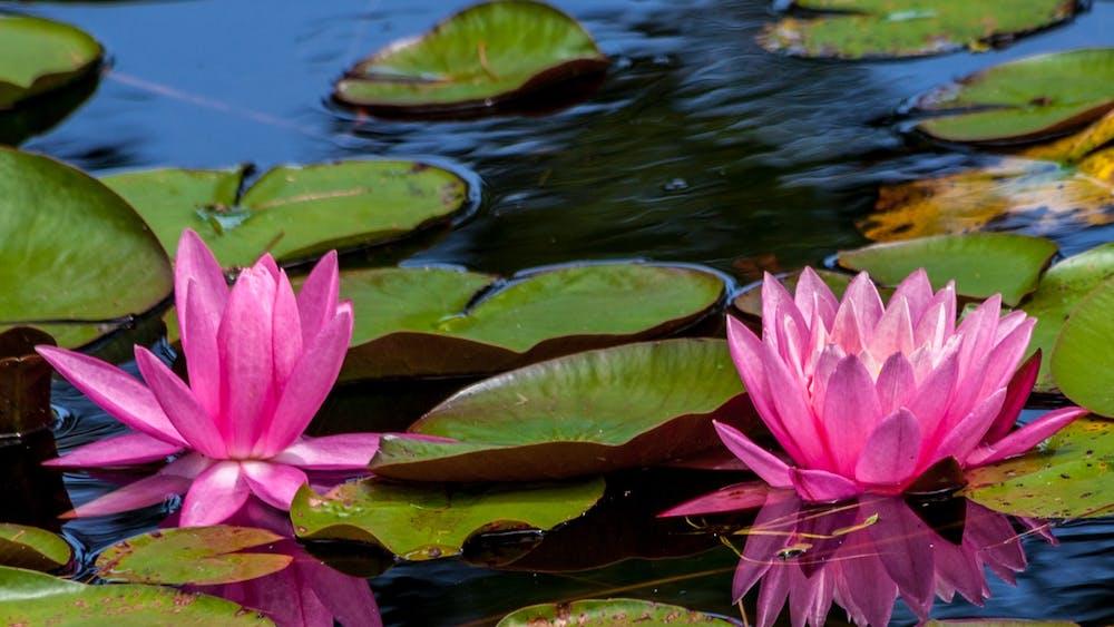 """Water Lily"" by Paul VanDerWerf / CC BY 2.0"