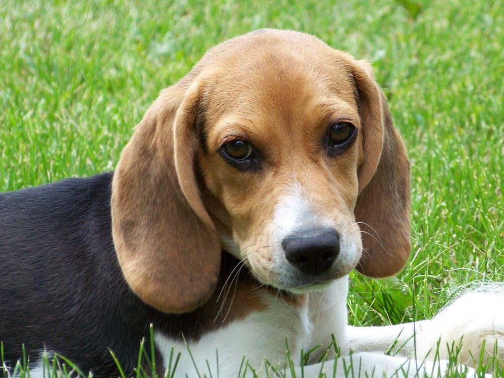 """Cute beagle puppy lilly"" by Garrett 222 / CC BY-SA"
