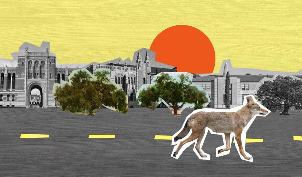 coyotes-yifeizhang