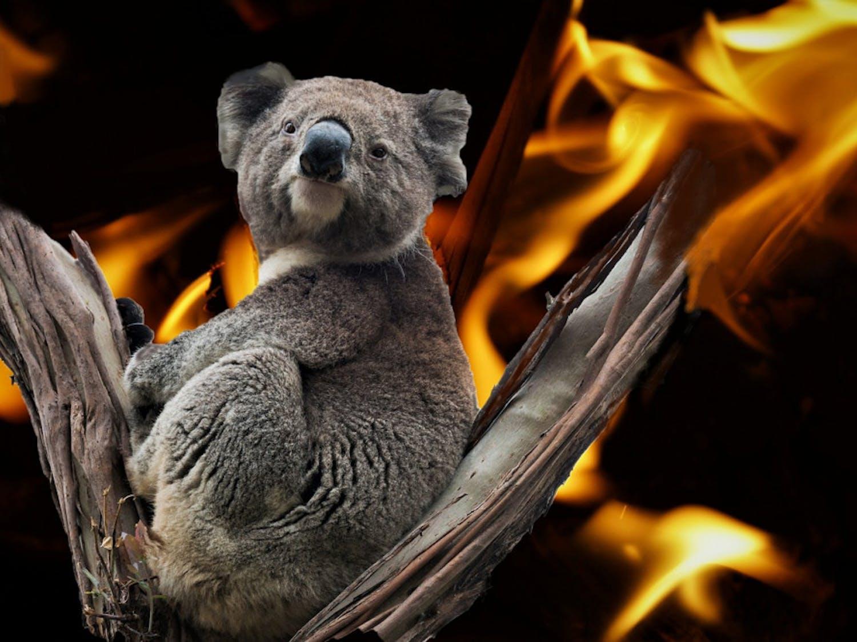 Koala-in-Australia-fire-Photo-via-Pixabay