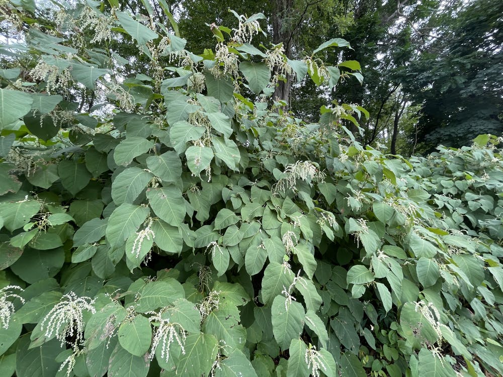What to know about Knotweed, an invasive plant on campus