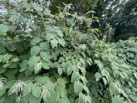 Japanese Knotweed is an invasive species found across campus. Even if a small portion of the plant's rhizome is left behind, it can regrow.