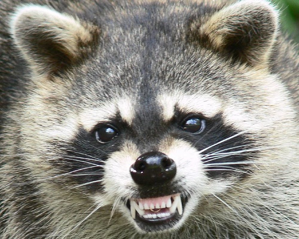 True Life: I was attacked by a raccoon