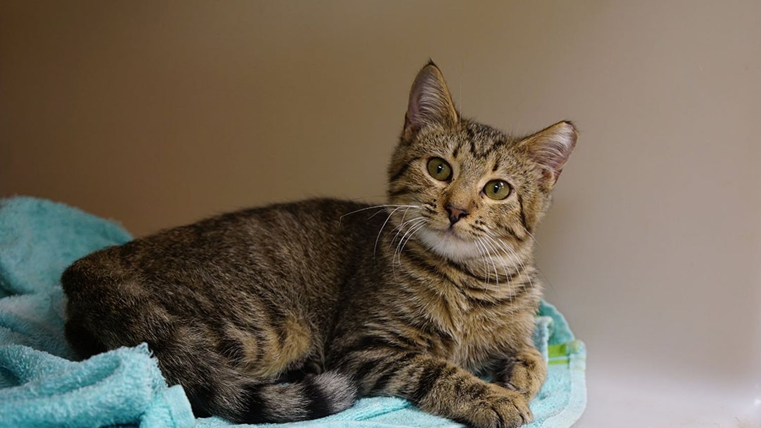 Edolie, a domestic shorthair kitten at City of Columbia Animal Services, looks out from his kennel on Sept. 24, 2020.