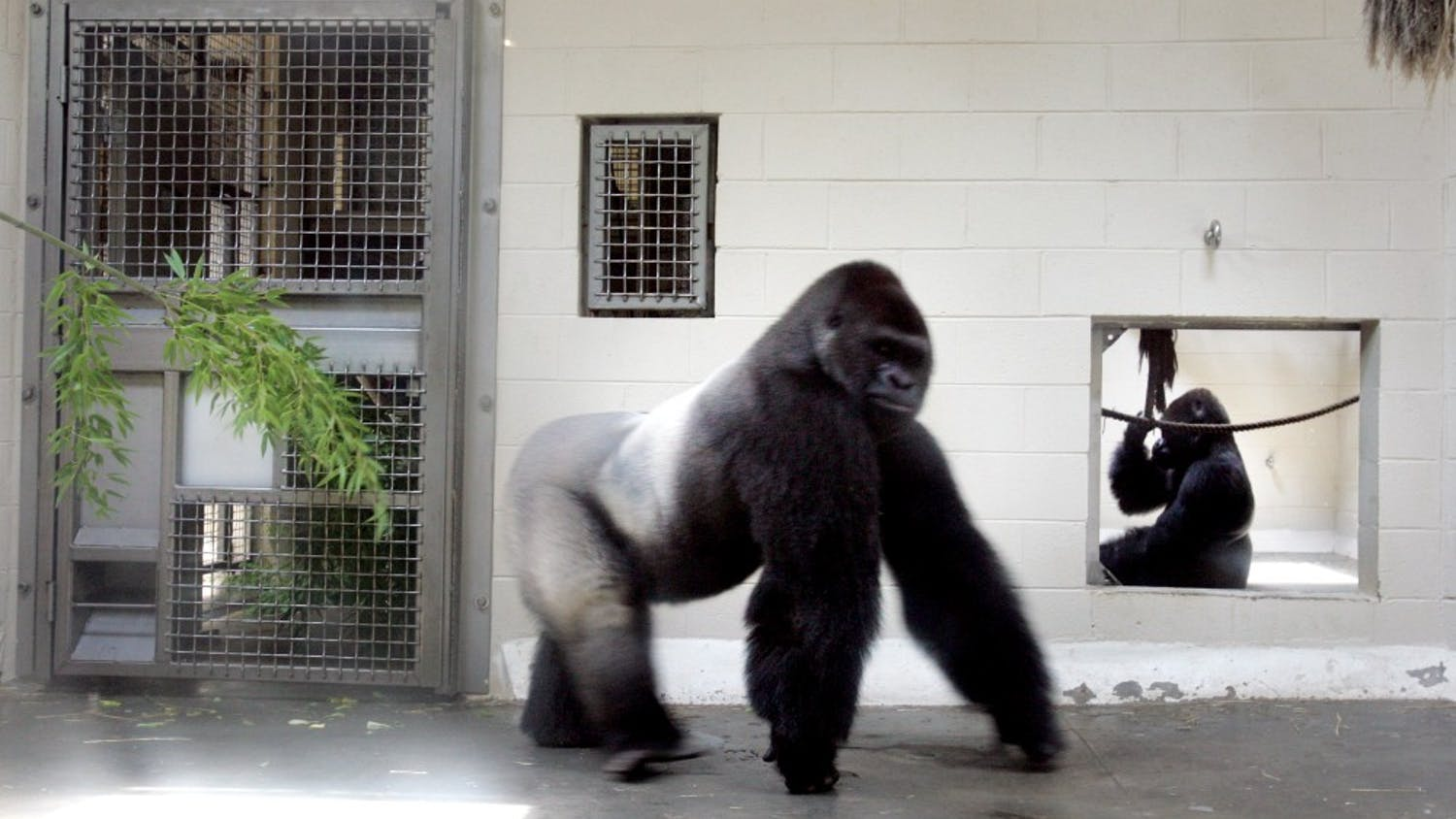 A gorilla walks his enclosure at the Riverbanks Zoo and Garden, Friday, June 12, 2009, in Columbia, South Carolina. One of the gorillas escaped from the zoo and injured an employee before returning to its enclosure, zoo spokeswoman Lindsay Burke said. (Gerry Melendez/The State/MCT)