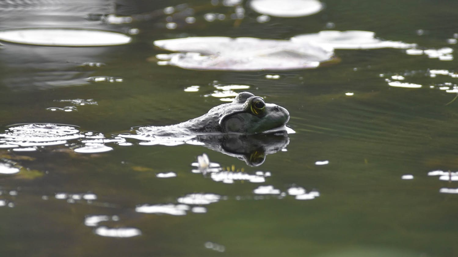 A bullfrog sits on the surface of the water of the Sesquicentennial state park pond. The park is home to many specifies of plants and animals.