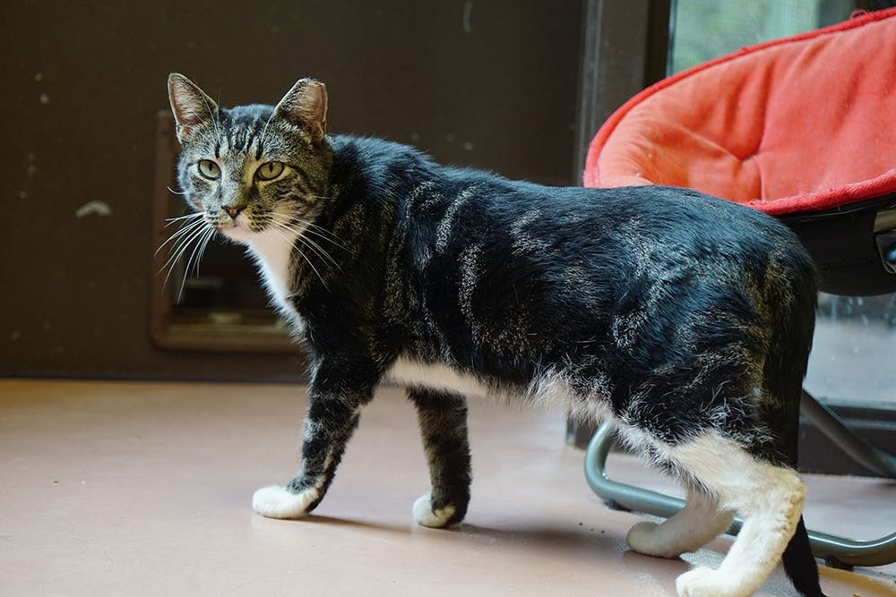 <p>Voltorb, a tabby cat, stands up to go to a nearby porch at City of Columbia Animal Services.</p>