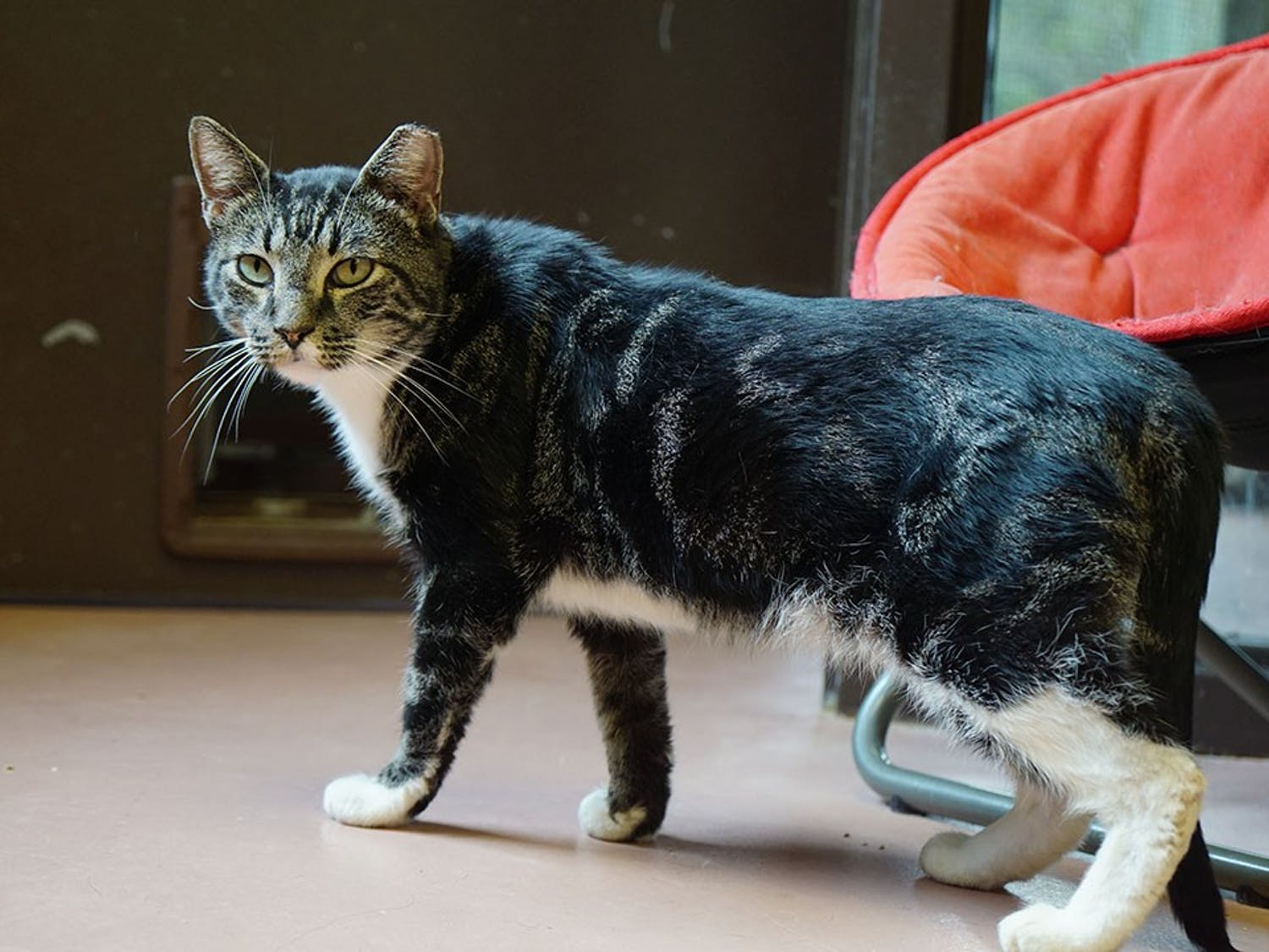 Voltorb, a tabby cat, stands up to go to a nearby porch at City of Columbia Animal Services.