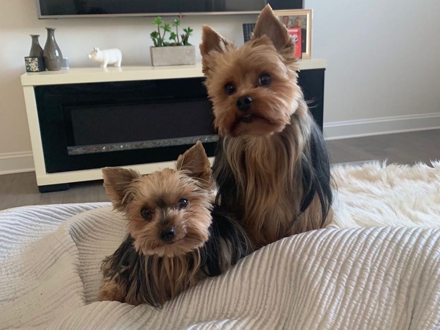 Piglet (left) loves cheese, and Beane (right) is the offspring of the former #1 yorkie in the country.