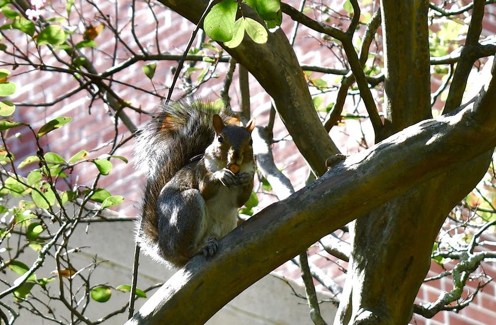 <p>One of the campus squirrels eats a nut while sitting on a tree branch outside of Russell House.</p>
