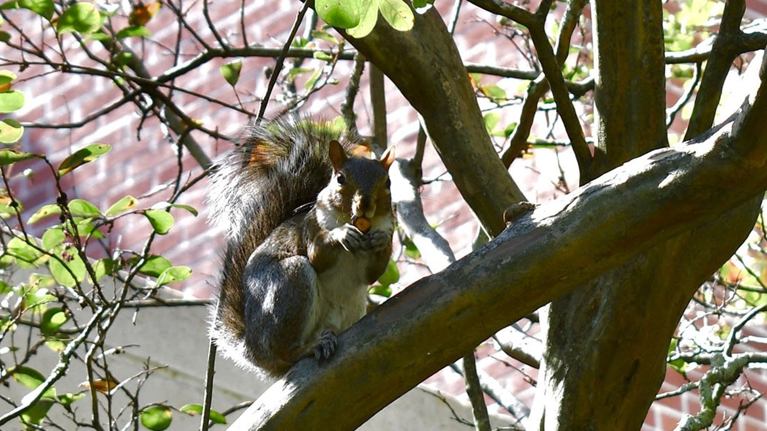 One of the campus squirrels eats a nut while sitting on a tree branch outside of Russell House.