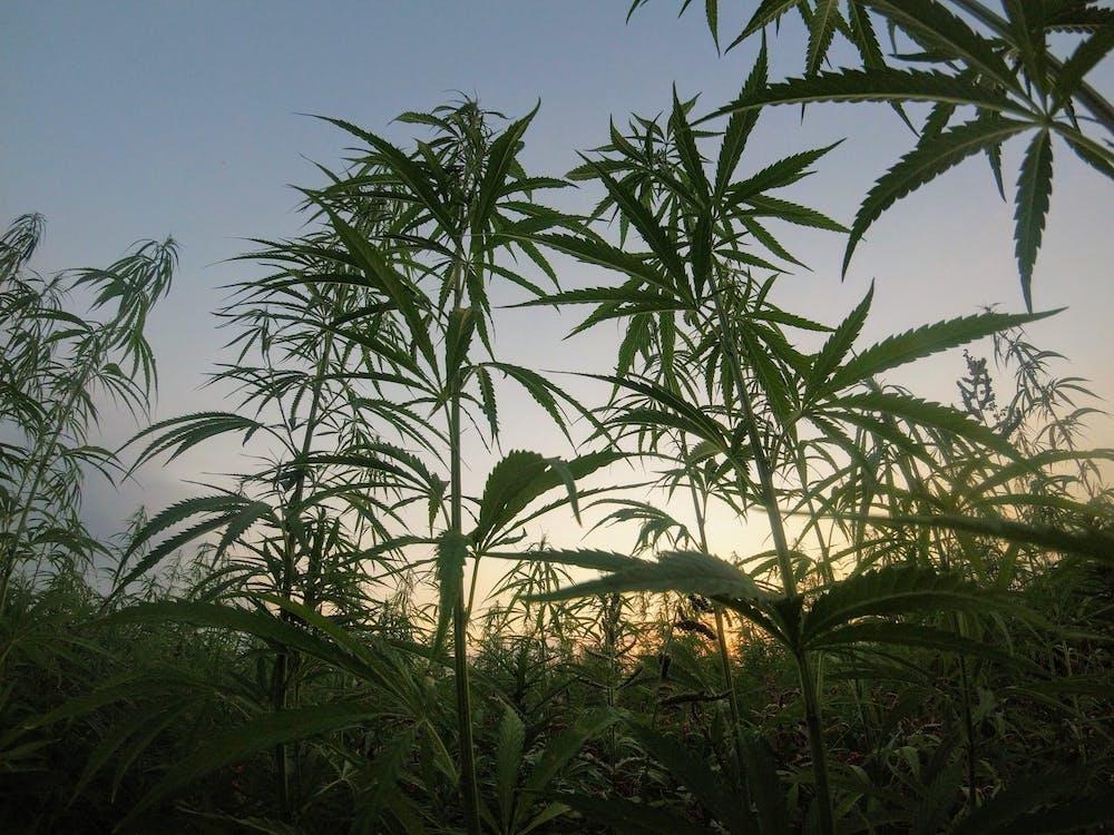 cannabiscrop