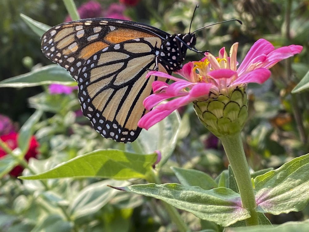 Miami has four butterfly gardens on campus, which feature local plants that provide nutrients to birds, butterflies and insects.