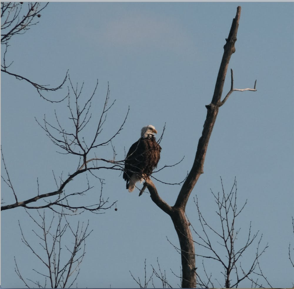 <p>Once endangered, the bald eagle represents strength and freedom for most Americans. But for Hueston Woods, their two bald eagles remain a symbol of wonder and hope.</p>