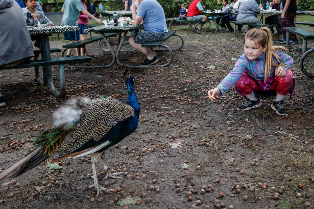 Ingham County residents Lillian Terrill, 8, right, plays with a peacock at the Potter Park Zoo Falconers Sundown Safari on Sept. 28, 2019.