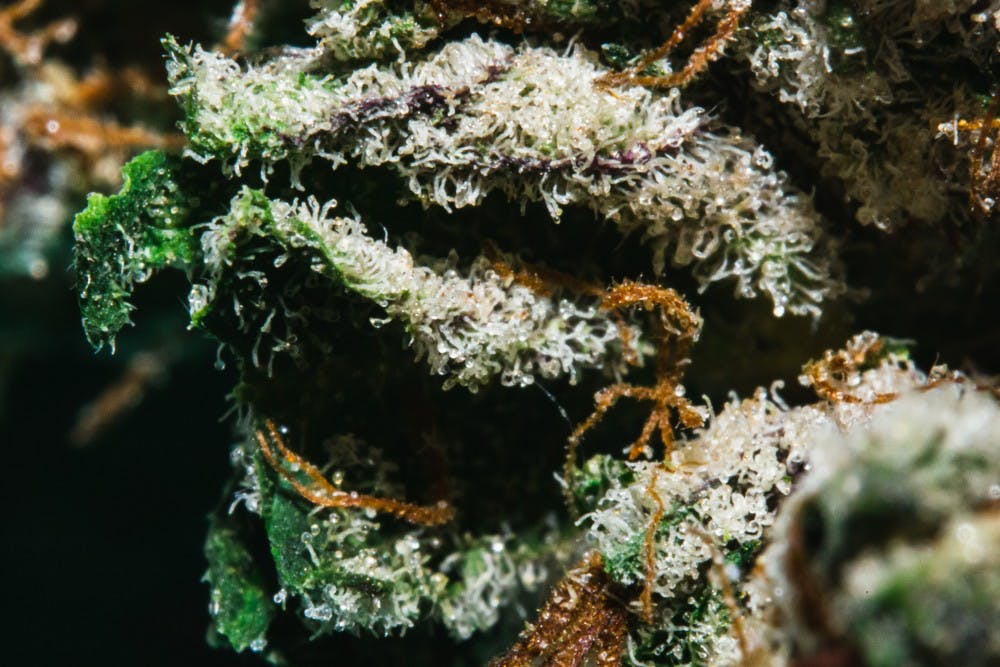 <p>Cannabis buds photographed on March 11, 2019.</p>