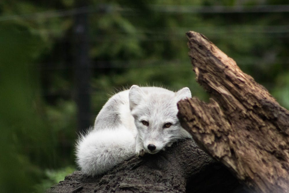 An arctic fox rests in its enclosure at Potter Park Zoo on Sept. 30, 2018.