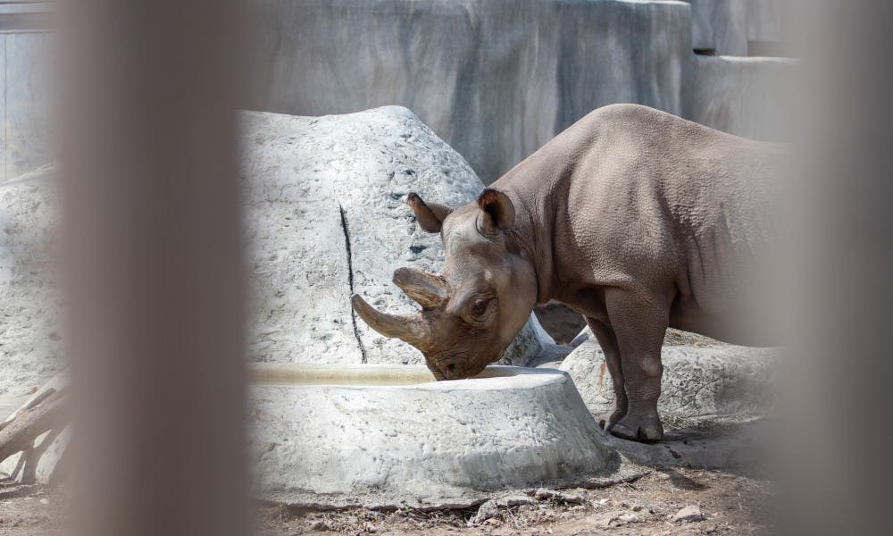 Doppsee, a black rhinoceros, drinks in her enclosure at Potter Park Zoo in Lansing April 8, 2019. Doppsee is currently pregnant.Students react to Michigan State's loss April 6, 2019.