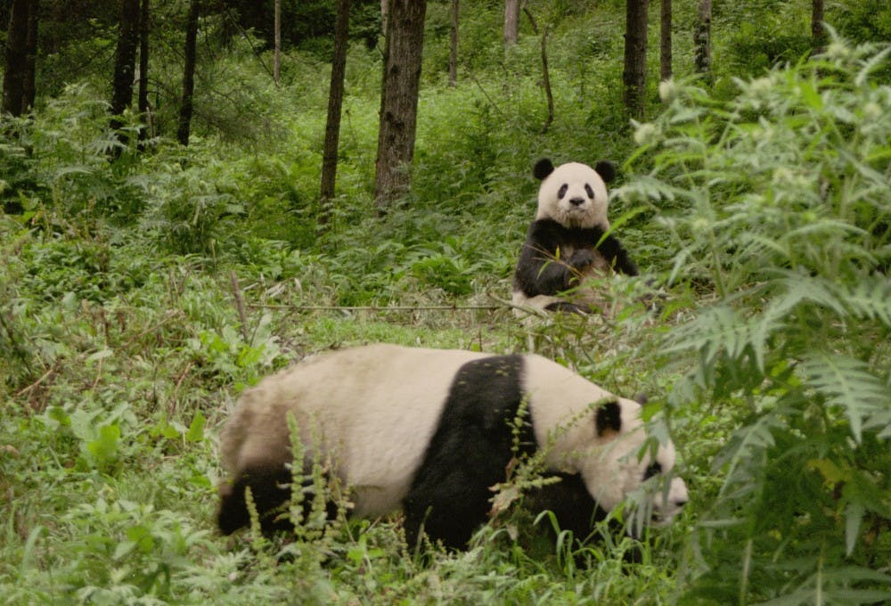 <p>Pandas pictured in their natural habitat in the China Center for Research and Conservation of the Giant Panda in the Wolong Nature Reserve. Photo courtesy of Sue Nichols</p>