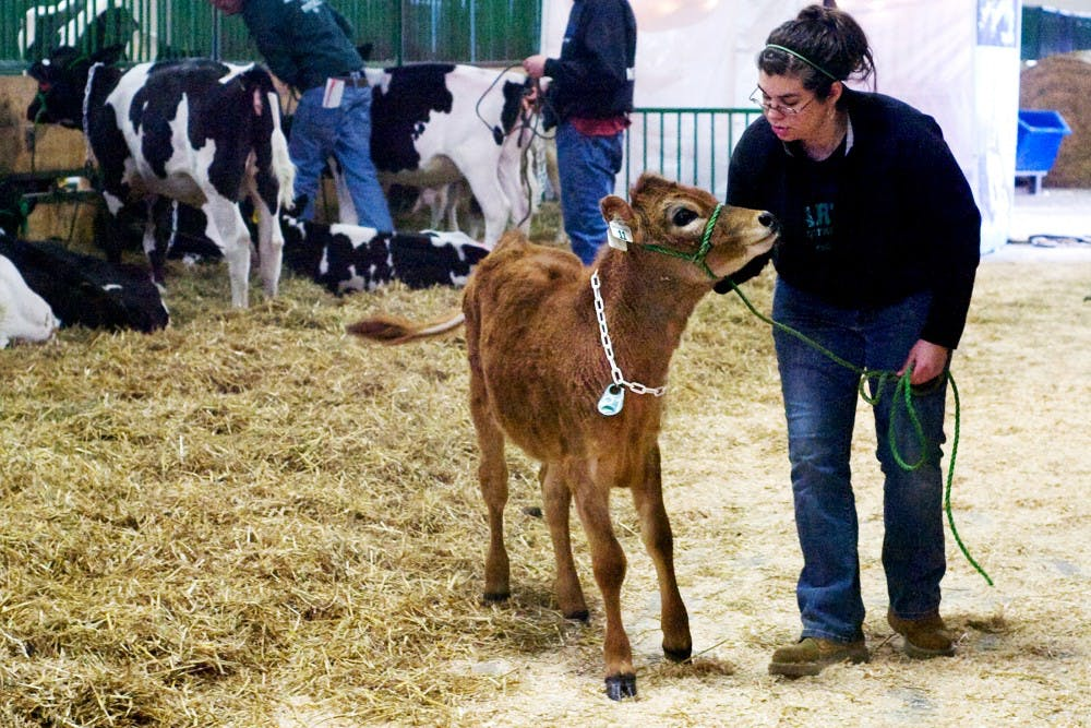 Agricultural industries junior Lisa Vander Veen leads a calf into the auction room Friday afternoon at the MSU Pavillion during the Spartan Spectacular Calf Sale organized by the Dairy Club and Dairy Judging Team. The annual sale gives students a chance to gain experience working hands on with dairy cows. Vander Veen has been involved in the Dairy Club for three years. Kelsie Thompson/ The State News