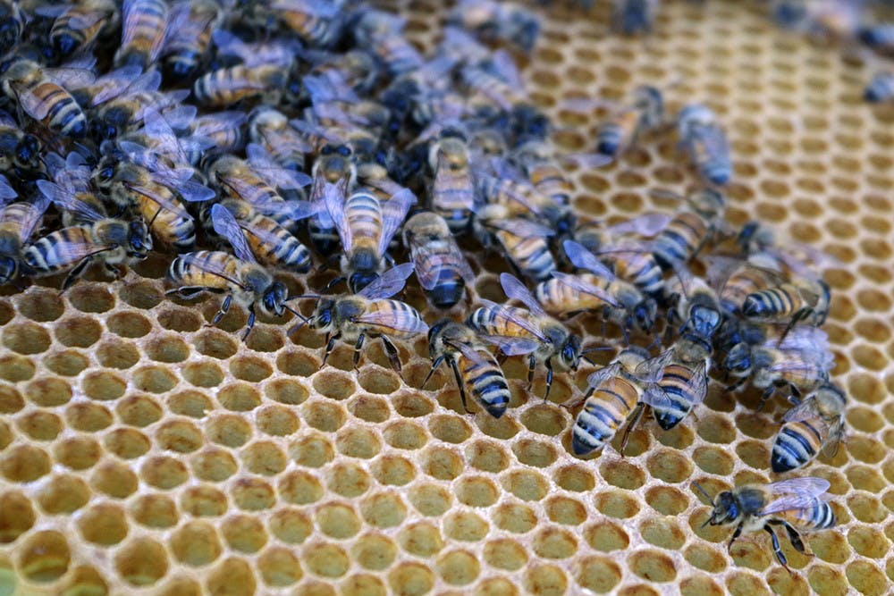 <p>Bees produce honey in the summer season, May 22, 2015, in the bees study field lab, in East Lansing. Bees are active in the sunny weather and gather around in groups. Yuanzhe Zhuang/The State News </p>