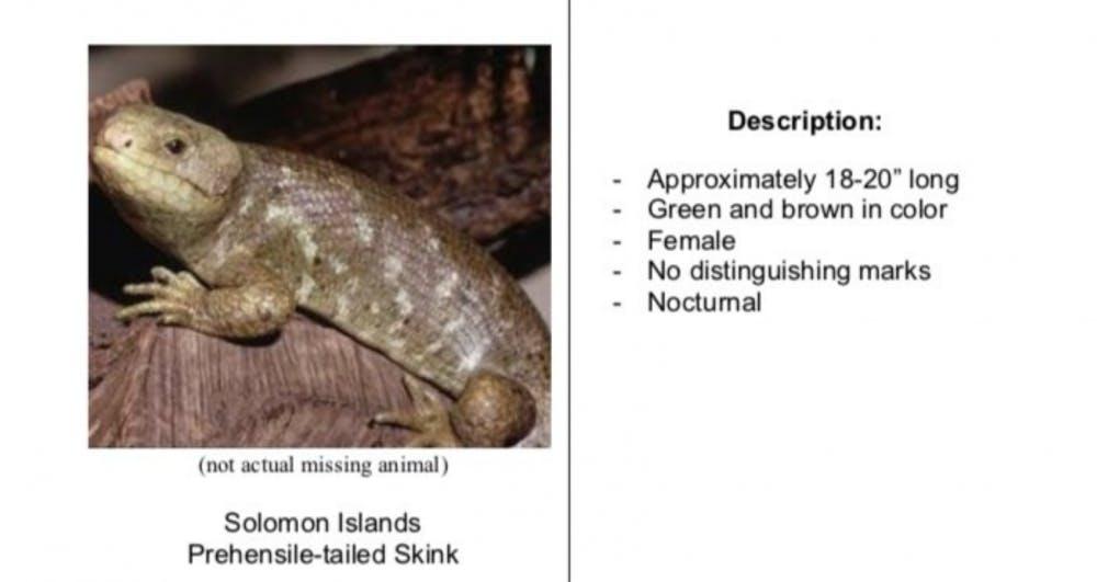 """<p><span id=""""docs-internal-guid-4ec250a8-7fff-e9a8-d91f-9470d8ee63a9""""><span>Solomon Islands skink</span></span></p>"""