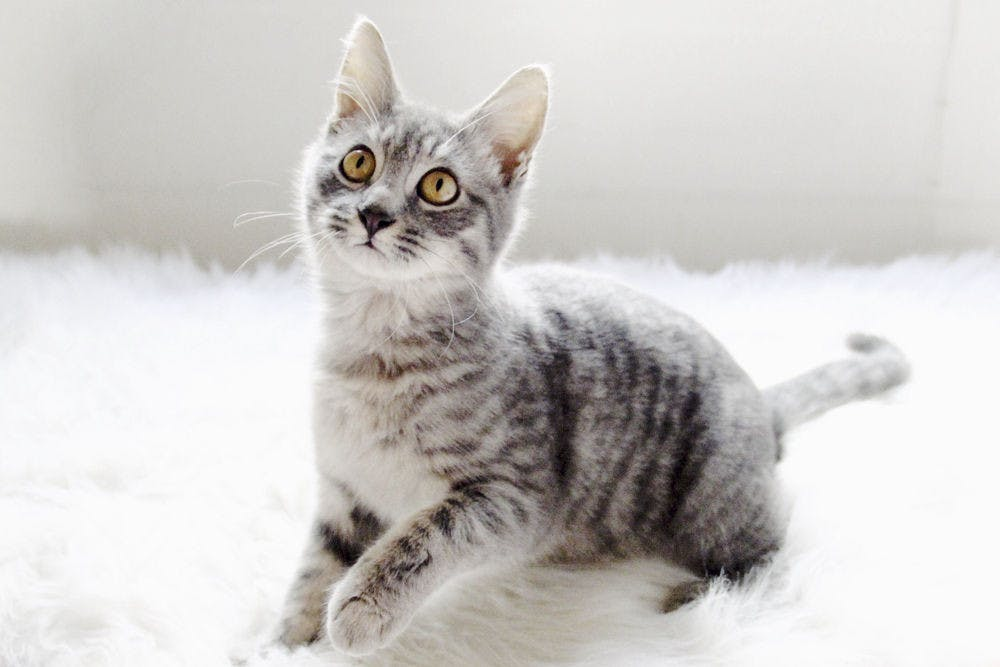 <p>Pictured above is Tina, a 1-year-old grey tabby cat. On Friday, Gainesville Police arrested 22-year-old UF student Madeleine Joan Kaye after they said she demanded a $20 ransom for Tina's safe return. Kaye never had possession of the cat, but said the ransom was a joke.</p>