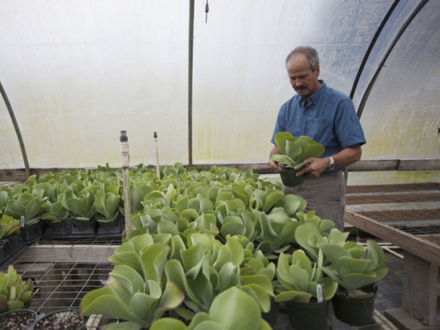 Alan Shapiro, president of Grandiflora nursery, cleans a rack of plants in one of the greenhouses on his 106-acre property. Grandiflora may be chosen to grow medical marijuana.