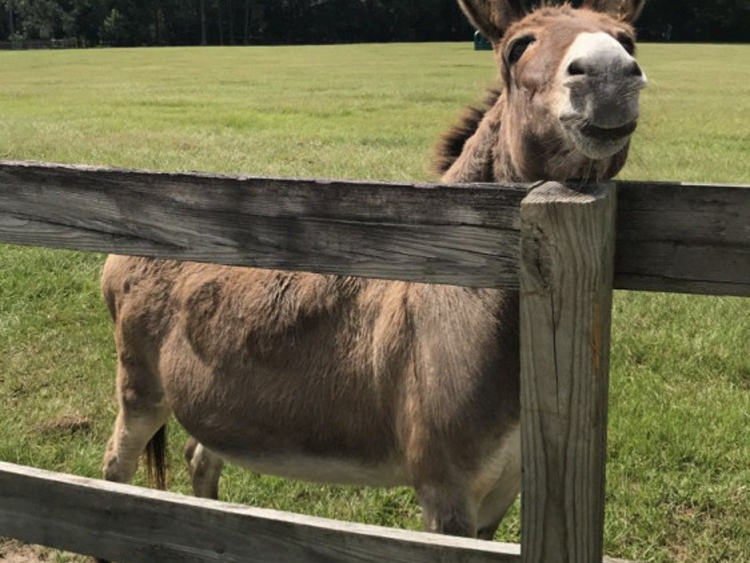 Moe is one of four donkeys on Mill Creek Farm. He enjoys attention and being hand-fed carrots.