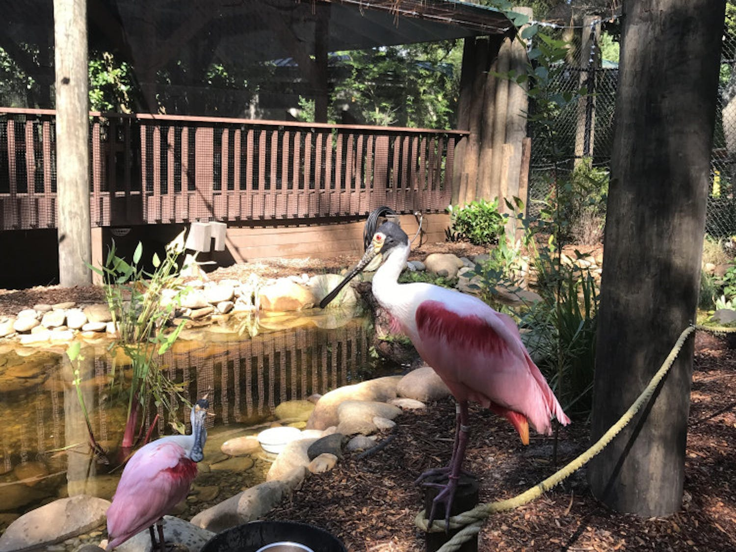 Two roseate spoonbills sunbathe along the walkway of their new home.