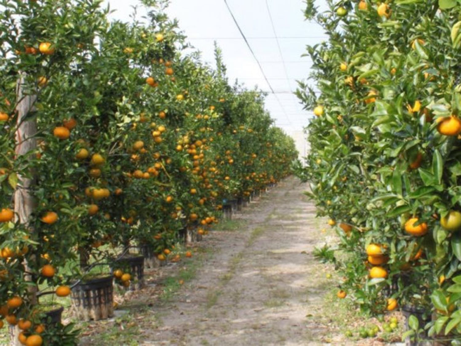 Citrus greening is a disease that reduces the production of citrus, with symptoms including yellowing of the leaves, dying of the trees or branches, abnormally tasting fruit and no fruiting. This 1-acre Citrus Under Protective Screen, a mesh screening, protects these 2.5-year-old mandarin trees by blocking out the Asian citrus psyllid, an insect that carries the bacteria that causes greening.