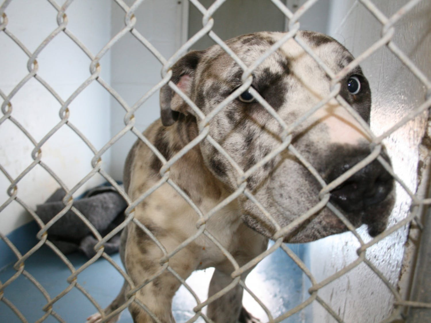 A dog looks out of his kennel at Alachua County Animal Services,3400 NE 53rd Ave.
