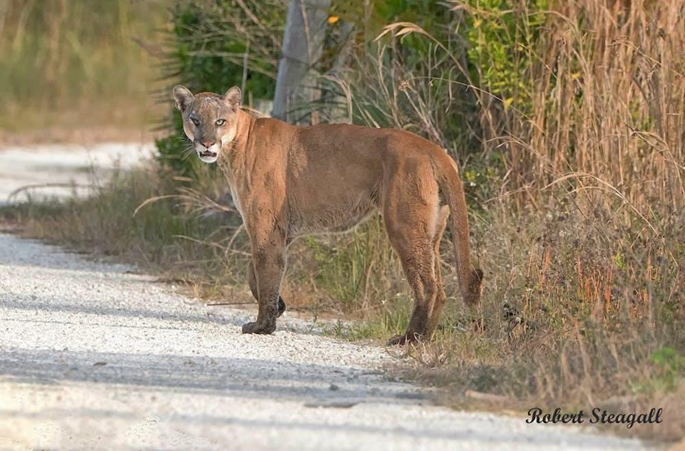 <p><span>An endangered Florida panther.</span></p>