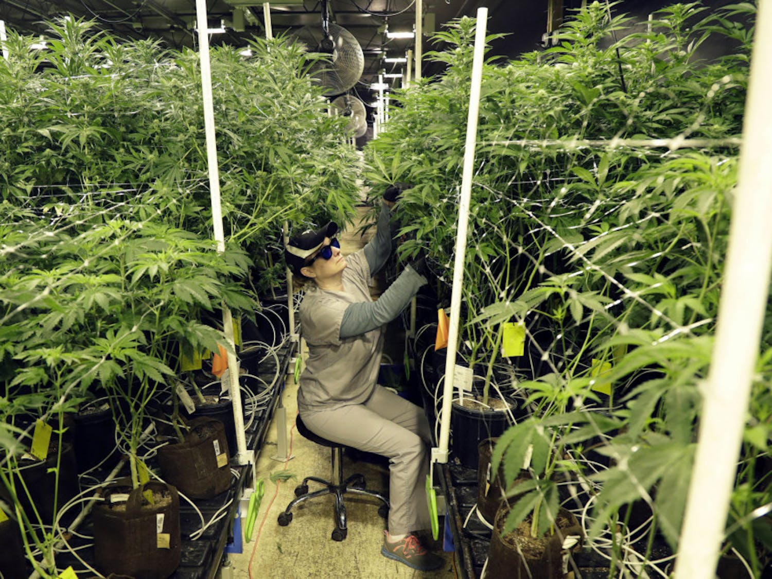 FILE - In this March 22, 2019 file photo, Heather Randazzo, a grow employee at Compassionate Care Foundation's medical marijuana dispensary, trims leaves off marijuana plants in the company's grow house in Egg Harbor Township, N.J. New Jersey legislative leaders unveiled a proposed ballot question Monday, Nov. 18, that would ask voters whether the state should legalize recreational marijuana. (AP Photo/Julio Cortez, File)