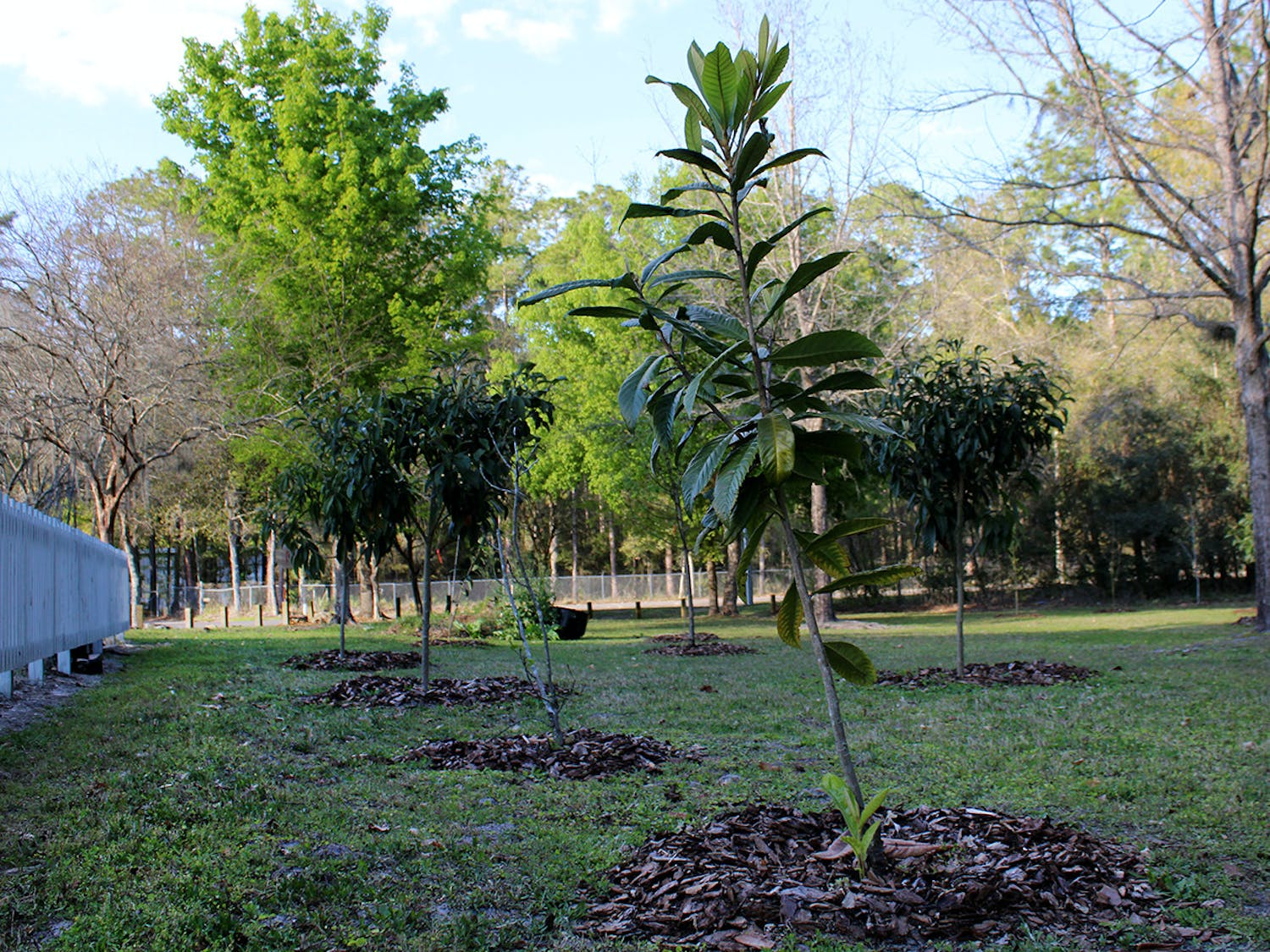 A Loquat, or Japanese Plum, tree sits next to the community garden and other newly-planted fruit trees at Fred Cone Park on Tuesday, March 9, 2021. The trees were planted in the park as a part of the city of Gainesville's Edible Groves project.